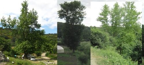 yüzlerce yıllık yaşlı çınar ağaçları